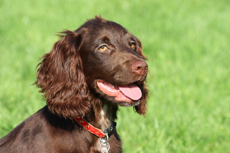 Photo of a chocolate spaniel